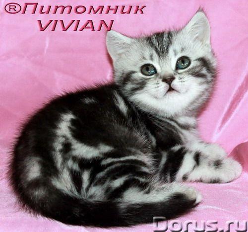 """Британские котята черный мрамор на серебре из VIVIAN - Кошки и котята - Лицензированный питомник """"VI..., фото 1"""