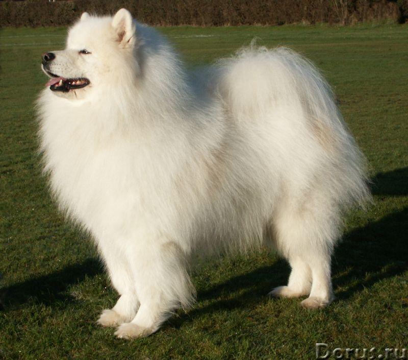Пояс самоедский белый АНТИРАДИКУЛИТНЫЙ .Собачья шерсть - Одежда и обувь - Пояс самоедский белый АНТИ..., фото 10
