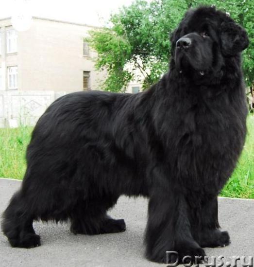 Пряжа «Черный Лохматуля» 185м100гр из собачьей шерсти - Услуги народной медицины - Пряжа «Черный Лох..., фото 2