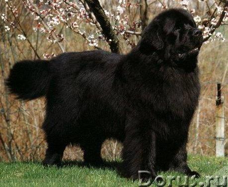 Пряжа «Черный Лохматуля» 185м100гр из собачьей шерсти - Услуги народной медицины - Пряжа «Черный Лох..., фото 9