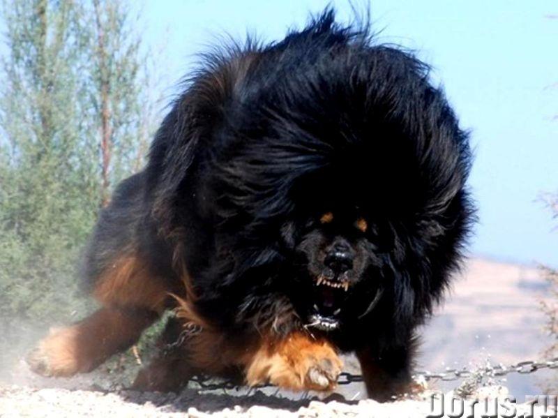 Пряжа ручного прядения целебная «Звезда Тибета160м100гр» .Из собачьей шерсти - Услуги народной медиц..., фото 4