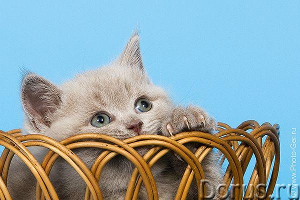 Британский котенок - кот лилового окраса - Кошки и котята - 8 (910)-483-40-91 Продается британский к..., фото 1