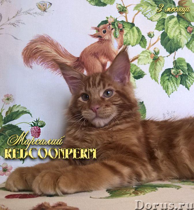 Котёнок мейн кун красный солид. Шоу класс. Из питомника - Кошки и котята - Redcoonperm - единственны..., фото 1