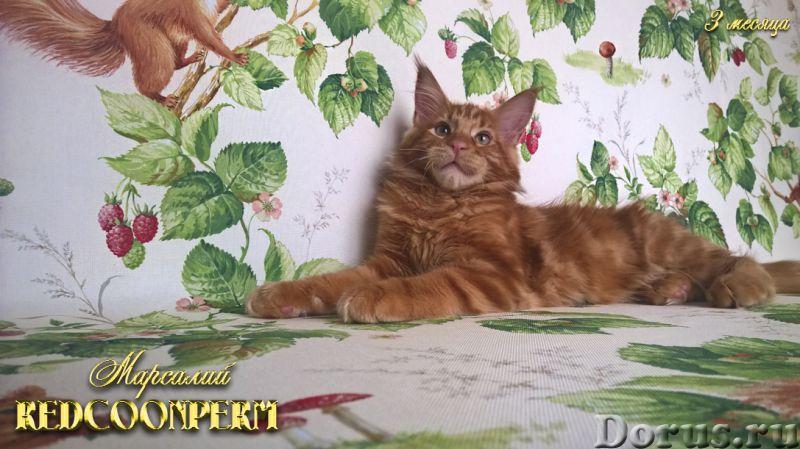 Котёнок мейн кун красный солид. Шоу класс. Из питомника - Кошки и котята - Redcoonperm - единственны..., фото 2