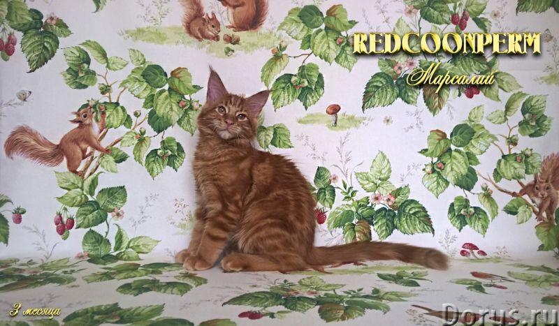 Котёнок мейн кун красный солид. Шоу класс. Из питомника - Кошки и котята - Redcoonperm - единственны..., фото 3