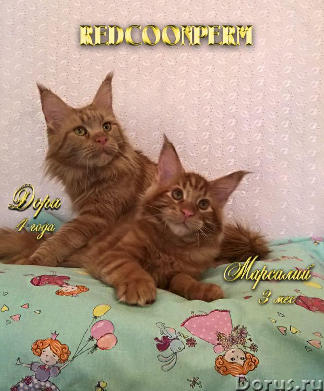 Котёнок мейн кун красный солид. Шоу класс. Из питомника - Кошки и котята - Redcoonperm - единственны..., фото 4