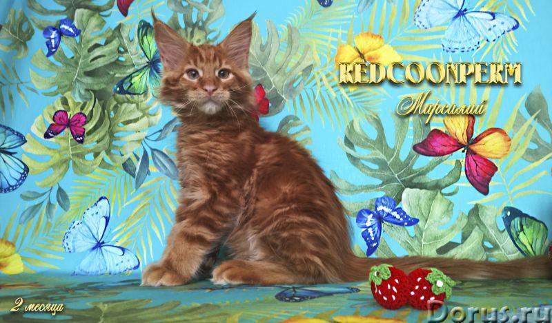 Котёнок мейн кун красный солид. Шоу класс. Из питомника - Кошки и котята - Redcoonperm - единственны..., фото 6
