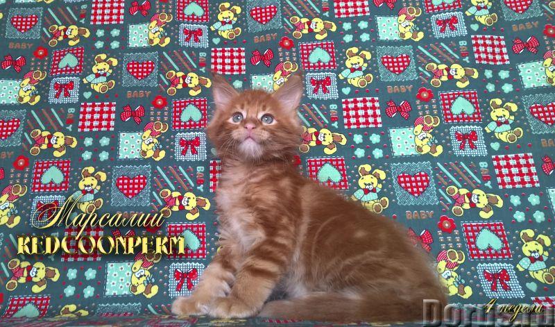 Котёнок мейн кун красный солид. Шоу класс. Из питомника - Кошки и котята - Redcoonperm - единственны..., фото 7