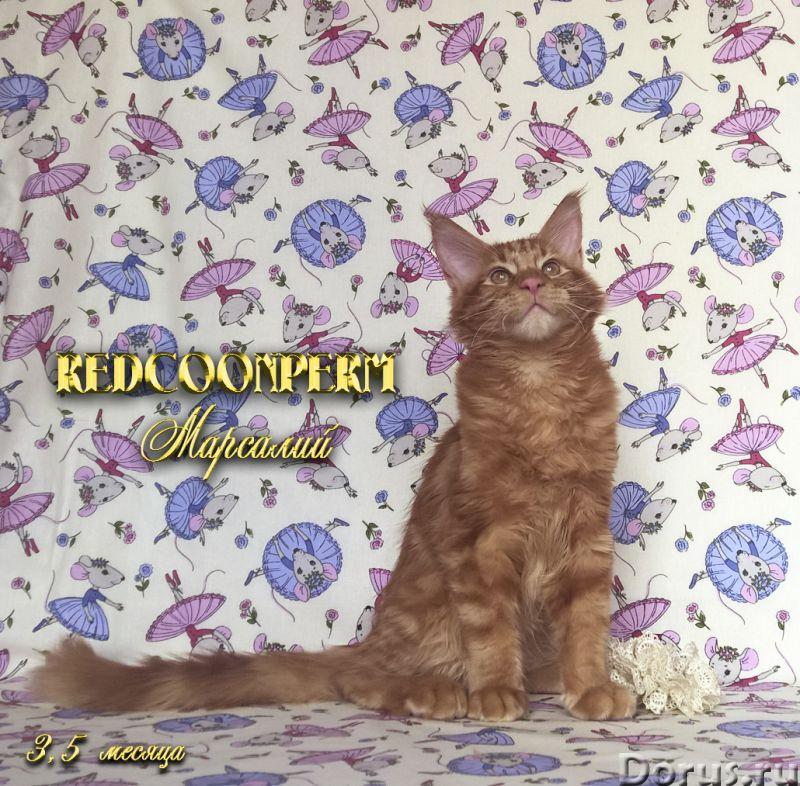 Котёнок мейн кун красный солид. Шоу класс. Из питомника - Кошки и котята - Redcoonperm - единственны..., фото 8