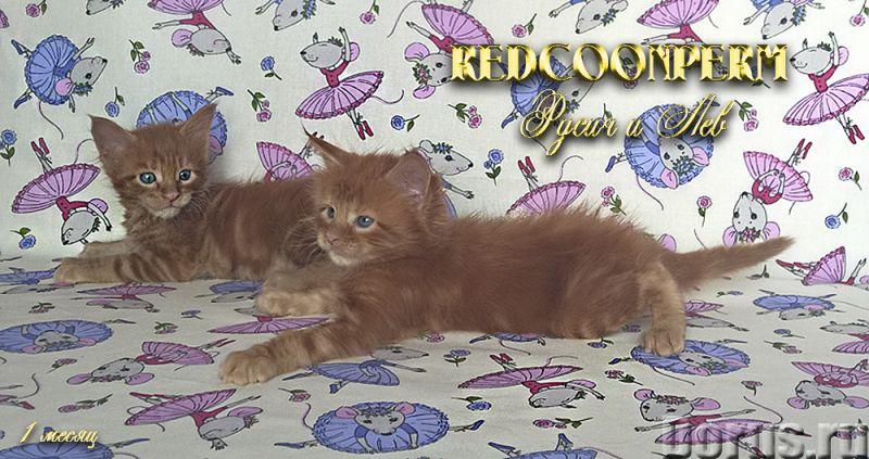 Котёнок мейн кун красный солид. Шоу класс. Из питомника - Кошки и котята - Redcoonperm - единственны..., фото 9