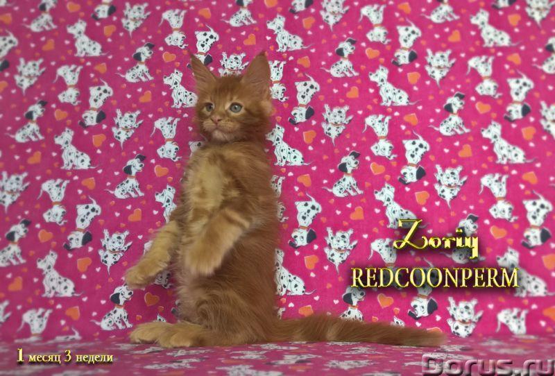 Котенок мейн кун красный солид. Шоу класс - Кошки и котята - Открыт для резервирования кот Зорий. Ун..., фото 1
