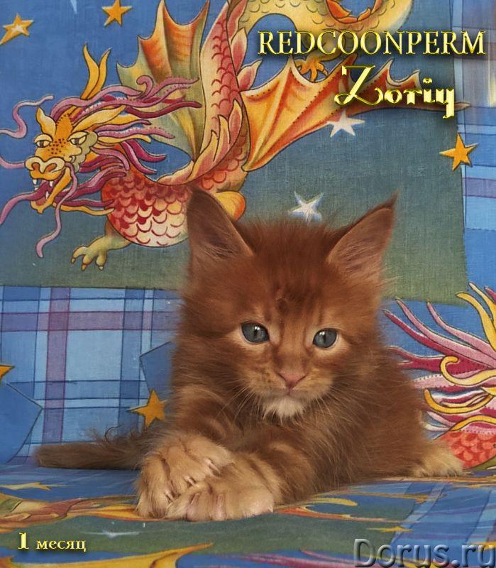 Котенок мейн кун красный солид. Шоу класс - Кошки и котята - Открыт для резервирования кот Зорий. Ун..., фото 2