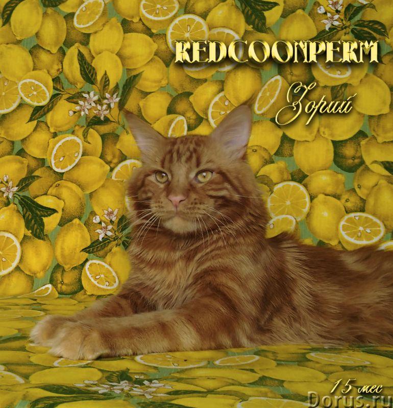 Котенок мейн кун красный солид. Шоу класс - Кошки и котята - Открыт для резервирования кот Зорий. Ун..., фото 3