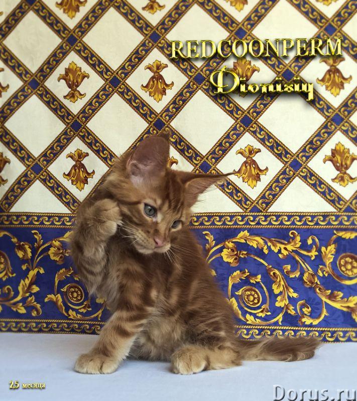 Котенок мейн кун красный солид. Шоу класс - Кошки и котята - Открыт для резервирования кот Зорий. Ун..., фото 4