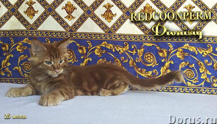 Котенок мейн кун красный солид. Шоу класс - Кошки и котята - Открыт для резервирования кот Зорий. Ун..., фото 5