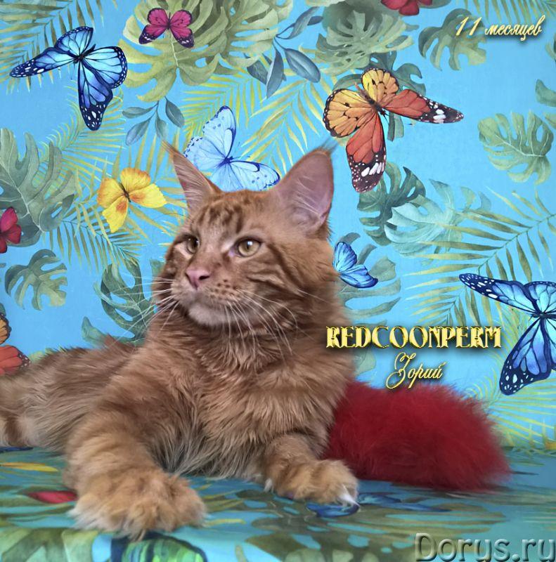 Котенок мейн кун красный солид. Шоу класс - Кошки и котята - Открыт для резервирования кот Зорий. Ун..., фото 6