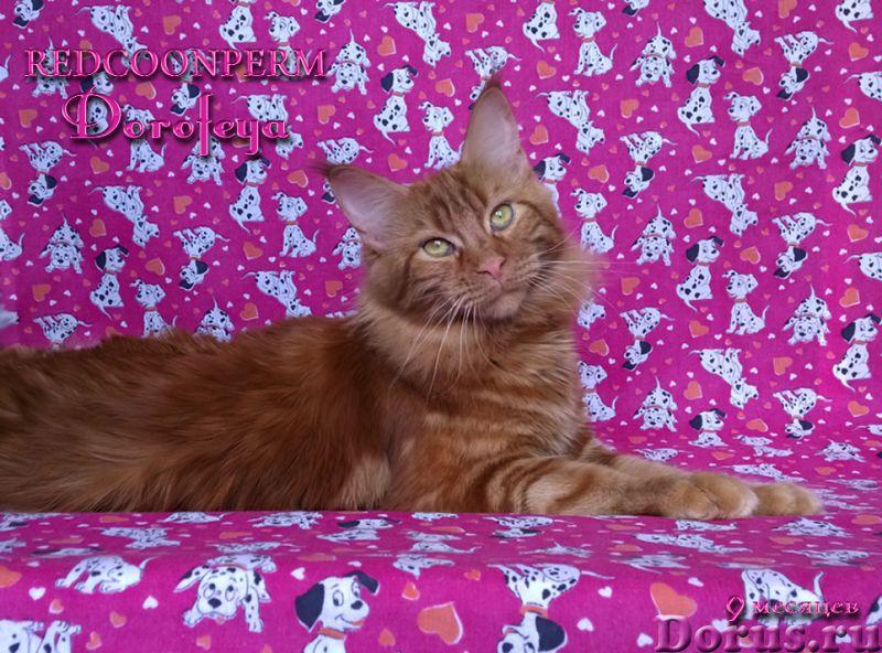 Котенок мейн кун красный солид. Шоу класс - Кошки и котята - Открыт для резервирования кот Зорий. Ун..., фото 9