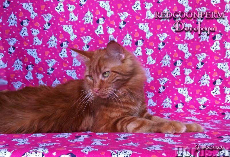 Котенок мейн кун красный солид. Шоу класс - Кошки и котята - Открыт для резервирования кот Зорий. Ун..., фото 10