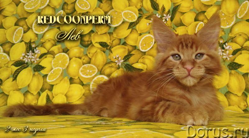 Котенок мейн кун красный солид. Шоу класс - Кошки и котята - Redcoonperm - единственный в мире питом..., фото 2