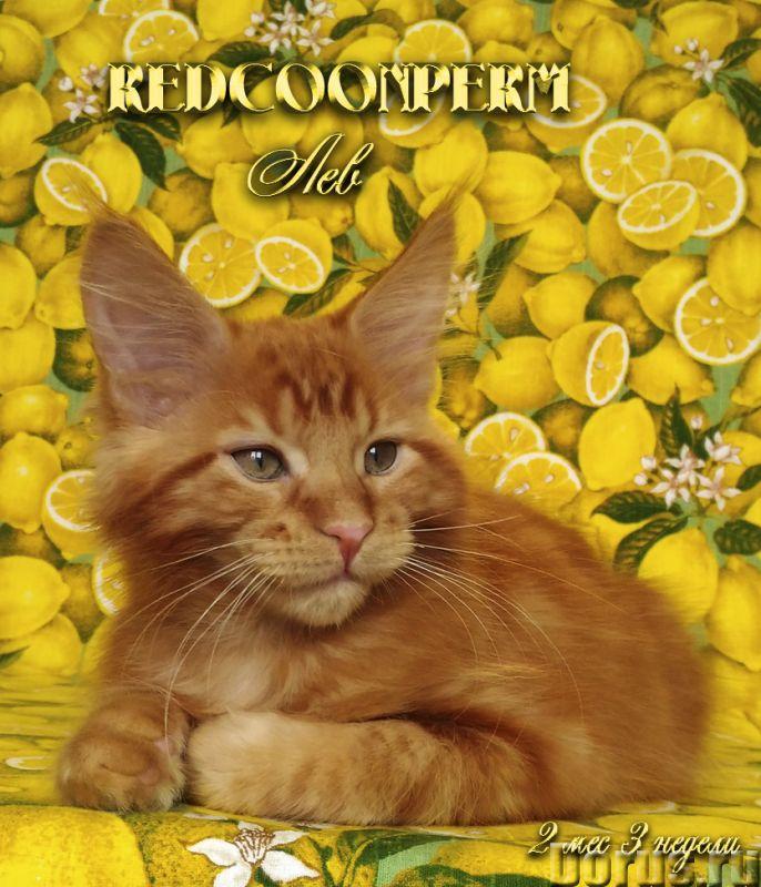 Котенок мейн кун красный солид. Шоу класс - Кошки и котята - Redcoonperm - единственный в мире питом..., фото 3
