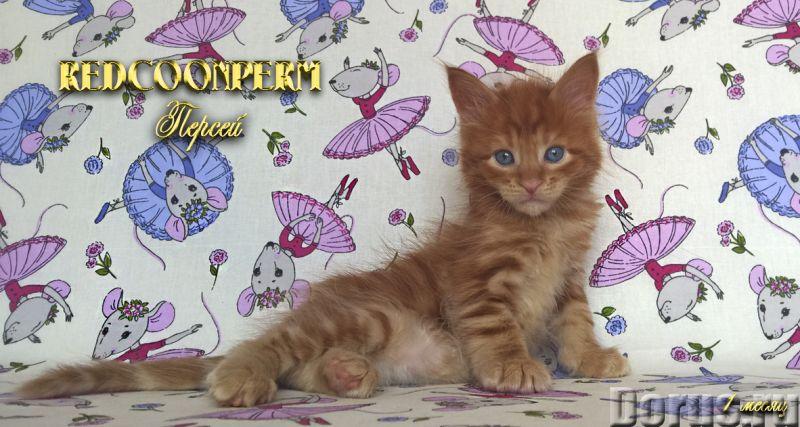 Котенок мейн кун красный солид. Шоу класс - Кошки и котята - Redcoonperm - единственный в мире питом..., фото 4