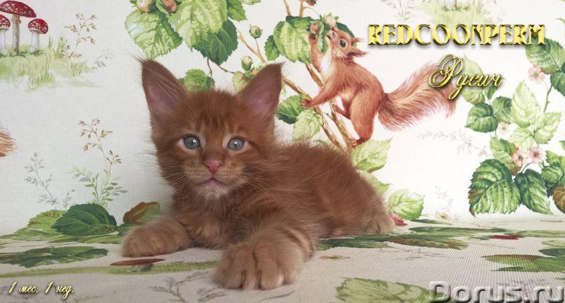 Котенок мейн кун красный солид. Шоу класс - Кошки и котята - Redcoonperm - единственный в мире питом..., фото 5