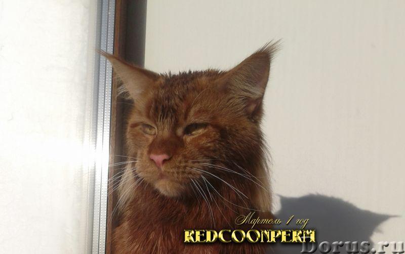 Котенок мейн кун красный солид. Шоу класс - Кошки и котята - Redcoonperm - единственный в мире питом..., фото 1