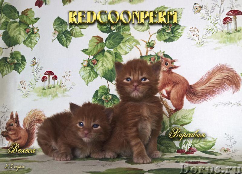 Котенок мейн кун красный солид. Шоу класс - Кошки и котята - Redcoonperm - единственный в мире питом..., фото 6