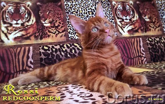 Котенок мейн кун красный солид. Шоу класс - Кошки и котята - Redcoonperm - единственный в мире питом..., фото 7