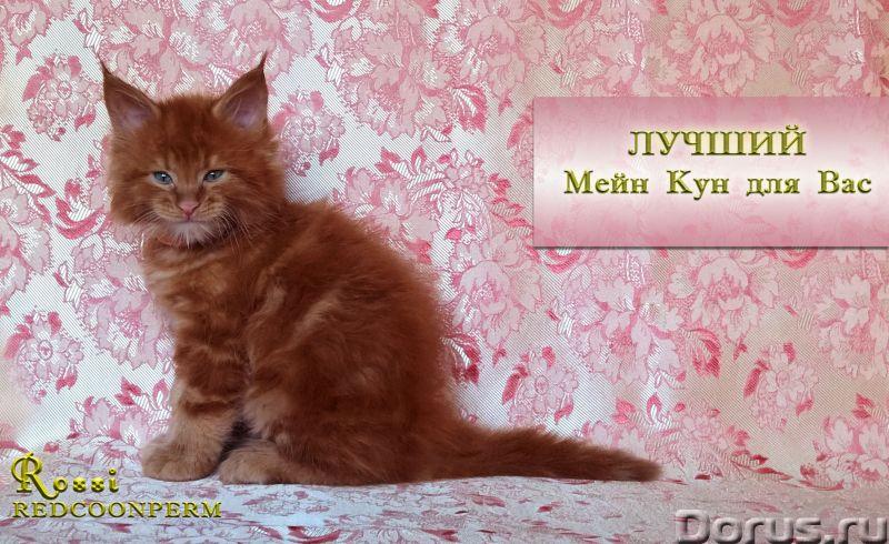 Котенок мейн кун красный солид. Шоу класс - Кошки и котята - Redcoonperm - единственный в мире питом..., фото 8
