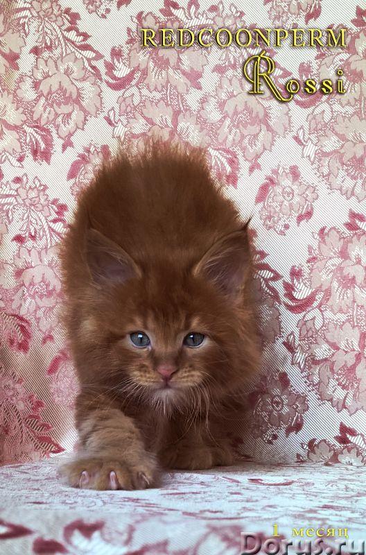 Котенок мейн кун красный солид. Шоу класс - Кошки и котята - Redcoonperm - единственный в мире питом..., фото 9