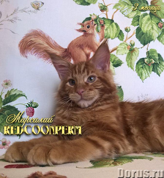 Котёнок мейн кун красный. Шоу класс. Из питомника - Кошки и котята - REDCOONPERM - единственный в ми..., фото 1