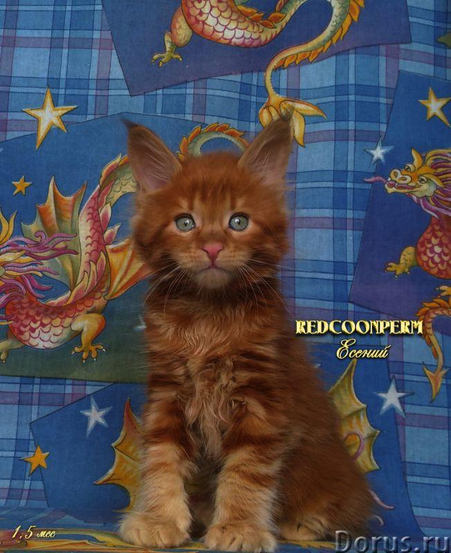 Котёнок мейн кун красный. Шоу класс. Из питомника - Кошки и котята - REDCOONPERM - единственный в ми..., фото 4