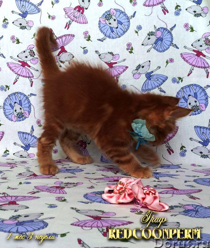 Котёнок мейн кун красный. Шоу класс. Из питомника - Кошки и котята - REDCOONPERM - единственный в ми..., фото 5