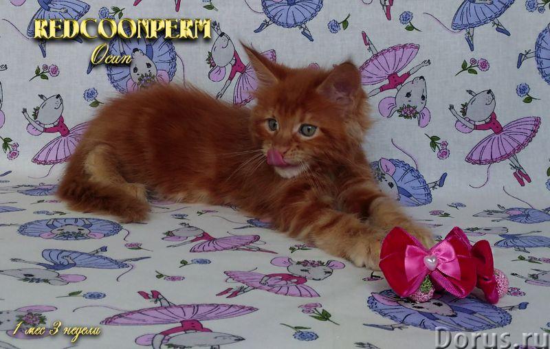 Котёнок мейн кун красный. Шоу класс. Из питомника - Кошки и котята - REDCOONPERM - единственный в ми..., фото 9