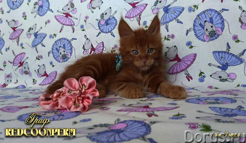 Котёнок мейн кун красный. Шоу класс. Из питомника - Кошки и котята - REDCOONPERM - единственный в ми..., фото 10