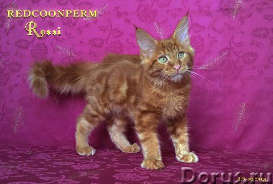 Котёнок мейн кун красный. Шоу класс. Из питомника - Кошки и котята - Redcoonperm - единственный в ми..., фото 2