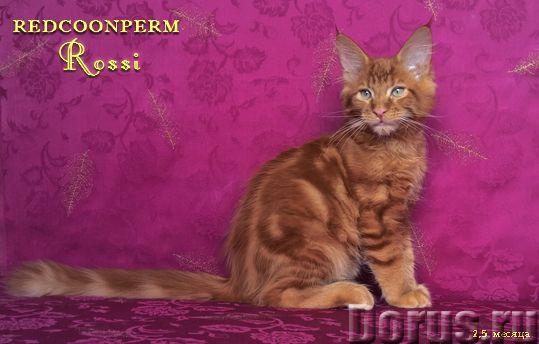Котёнок мейн кун красный. Шоу класс. Из питомника - Кошки и котята - Redcoonperm - единственный в ми..., фото 3
