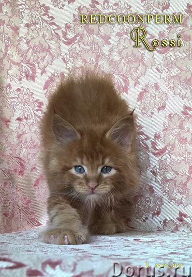 Котёнок мейн кун красный. Шоу класс. Из питомника - Кошки и котята - Redcoonperm - единственный в ми..., фото 6