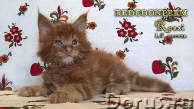 Котёнок мейн кун красный. Шоу класс. Из питомника - Кошки и котята - Redcoonperm - единственный в ми..., фото 7