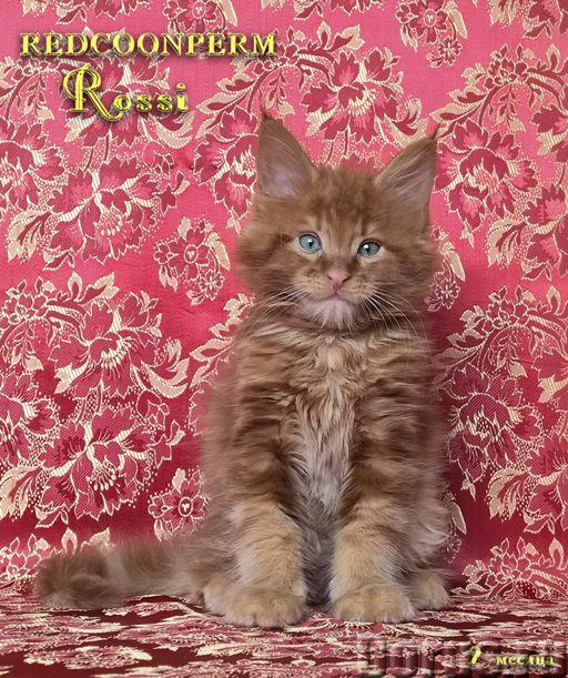 Котёнок мейн кун красный. Шоу класс. Из питомника - Кошки и котята - Redcoonperm - единственный в ми..., фото 8