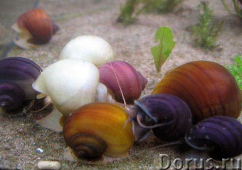 Ампулярии разноцветные аквариумные улитки - Прочее по животным и растениям - Ампулярия – пресноводна..., фото 1