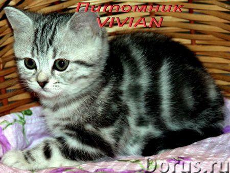 Британские мраморные котята из питомгика VIVIAN - Кошки и котята - Племенной питомник британских кош..., фото 1