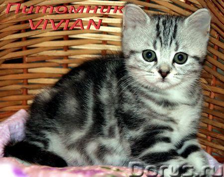Британские мраморные котята из питомгика VIVIAN - Кошки и котята - Племенной питомник британских кош..., фото 2