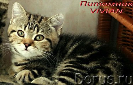 Британские мраморные котята из питомгика VIVIAN - Кошки и котята - Племенной питомник британских кош..., фото 3