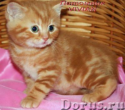 Британские мраморные котята из питомгика VIVIAN - Кошки и котята - Племенной питомник британских кош..., фото 4