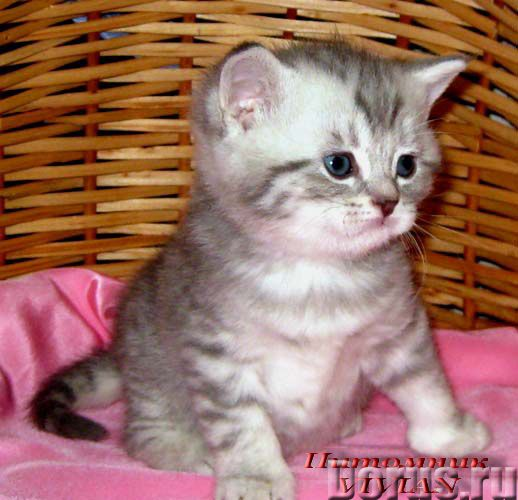 Британские котята вискас из питомника VIVIAN - Кошки и котята - Племенной питомник британских кошек..., фото 1