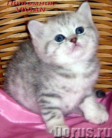 Британские котята вискас из питомника VIVIAN - Кошки и котята - Племенной питомник британских кошек..., фото 2