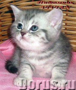 Британские котята вискас из питомника VIVIAN - Кошки и котята - Племенной питомник британских кошек..., фото 3