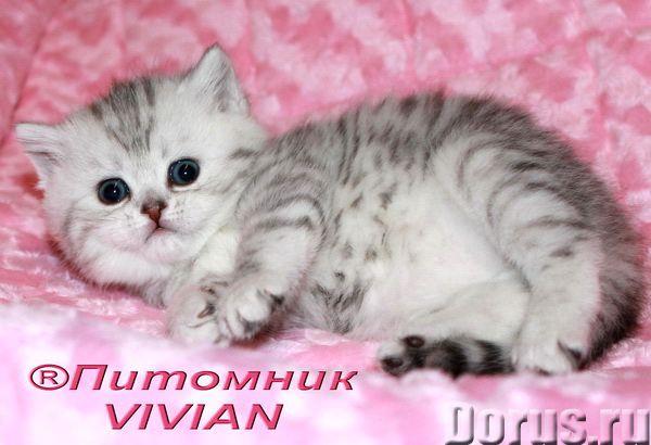 Британские котята вискас из питомника VIVIAN - Кошки и котята - Московский племенной питомник британ..., фото 2